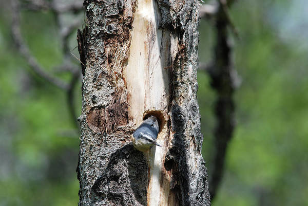 Nuthatch At Nest Site Poster