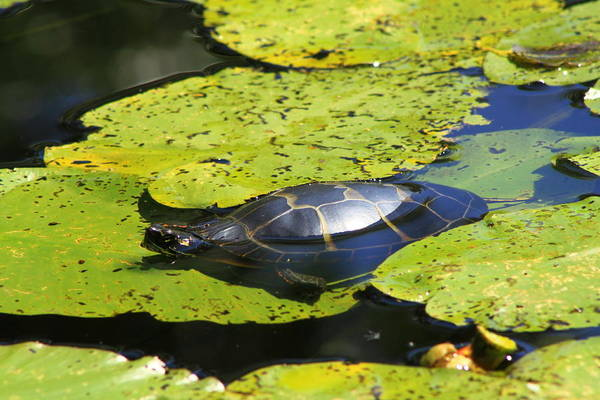 Painted Turtle On Water Lilies Poster