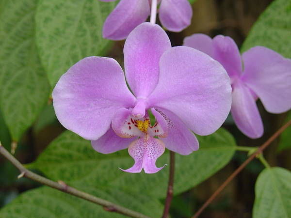 Pale Pink Orchid Poster