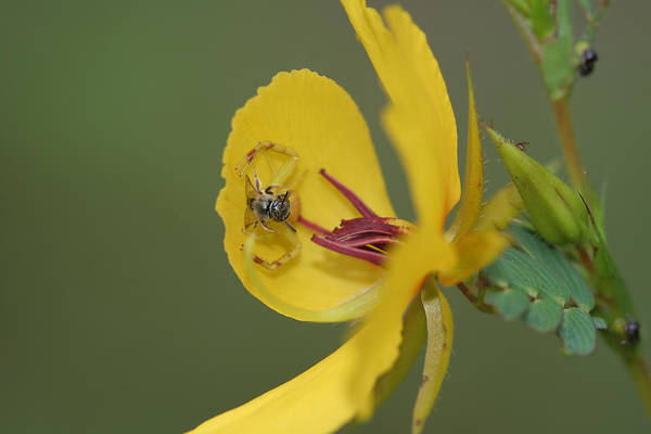 Partridge Pea And Matching Crab Spider With Prey Poster