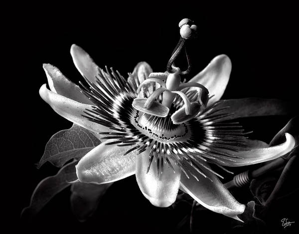 Passion Flower In Black And White Poster
