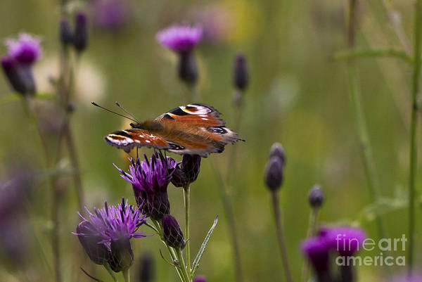 Peacock Butterfly On Knapweed Poster