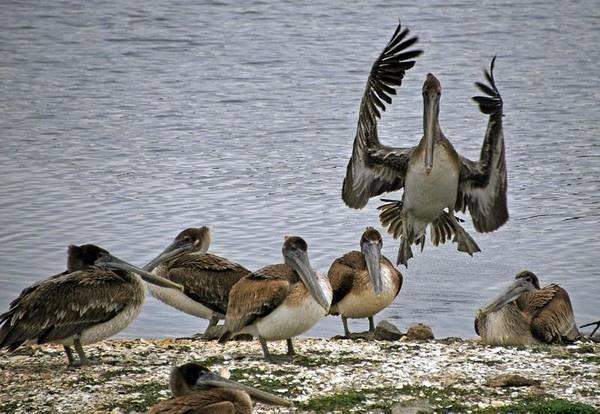 Pelican Meeting Poster