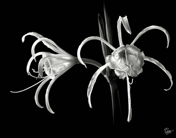 Peruvian Daffodil In Black And White Poster