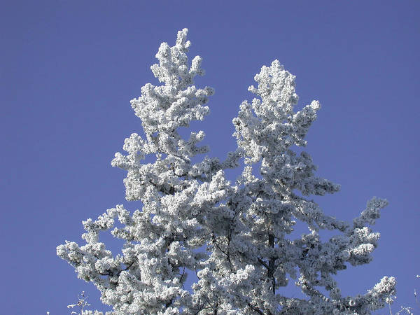 Pine Hoar Frost Poster