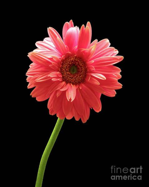 Pink Gerbera Poster