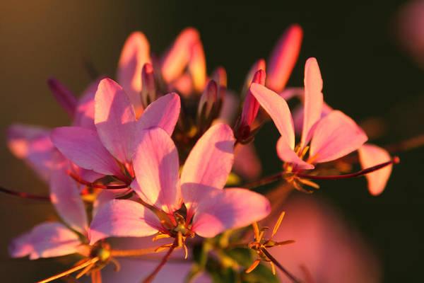 Pink Morning Poster
