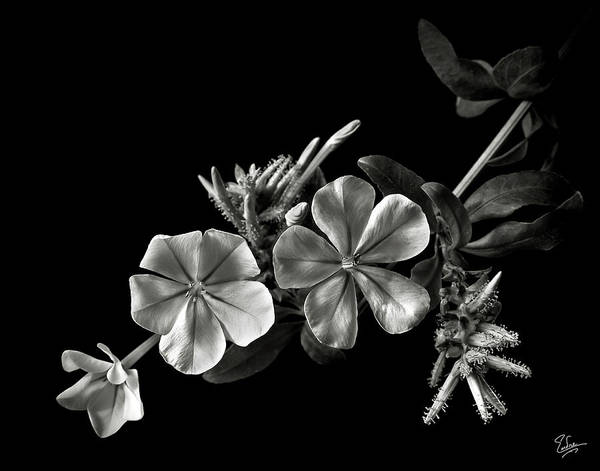 Plumbago In Black And White Poster