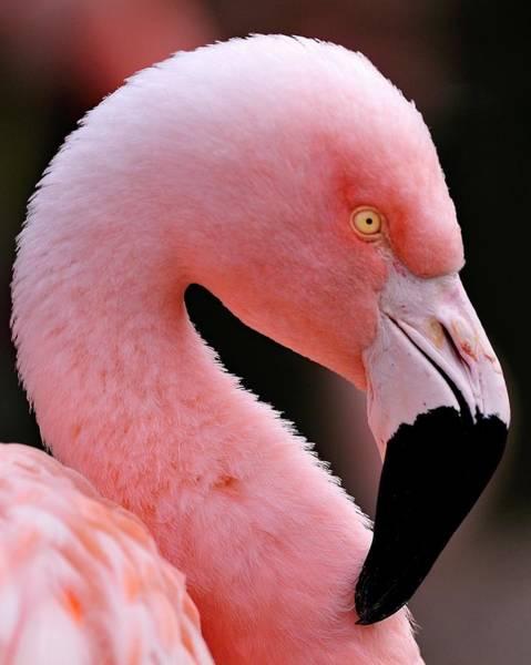 Portrait Of A Flamingo Poster