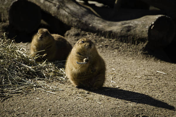 Prairie Dog Sees The Shadow Poster