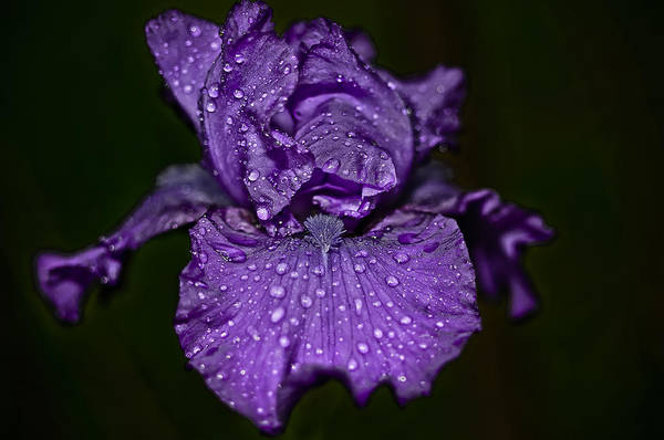 Purple Iris With Water Drops Poster