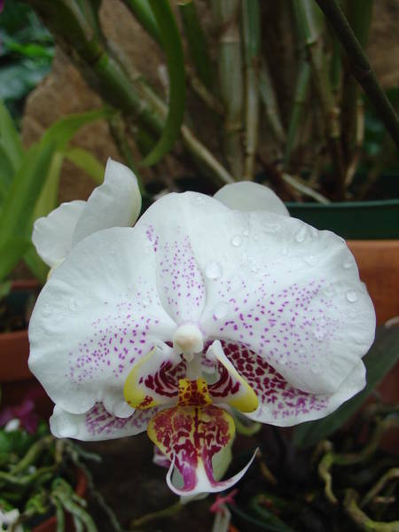 Rain Drops On Orchid Poster