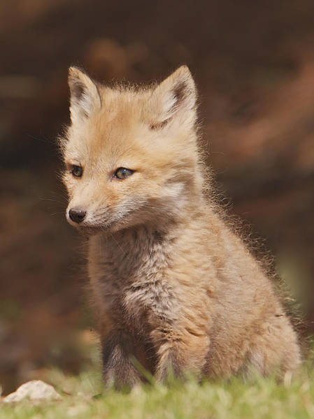 Red Fox Kitt Poster