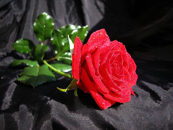Red Rose On Black Poster