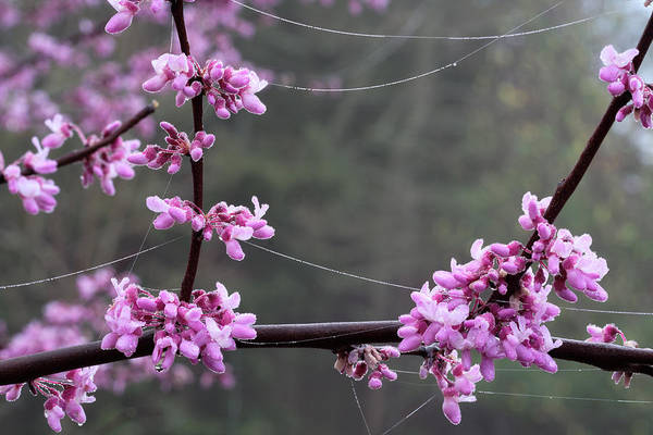 Redbud With Webs And Dew Poster