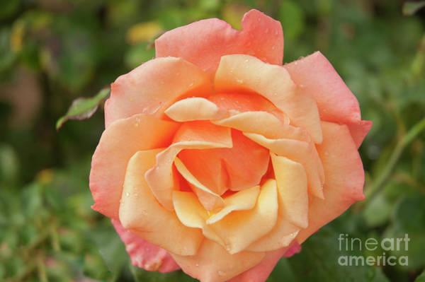 Salmon Rose Poster
