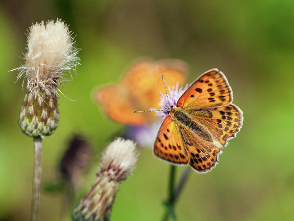 Scarce Copper Butterfly Poster