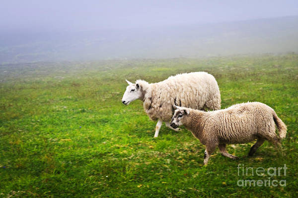 Sheep In Misty Meadow Poster