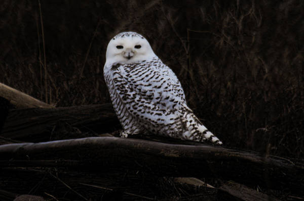 Snowy Owl Two Poster
