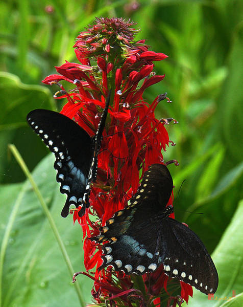 Spicebush Swallowtails Visiting Cardinal Lobelia Din041 Poster