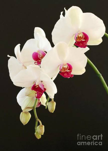 Spray Of White Orchids Poster