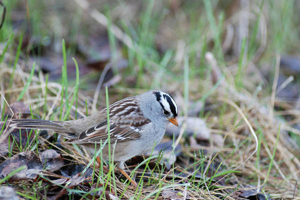 Spring White Crowned Sparrow Poster