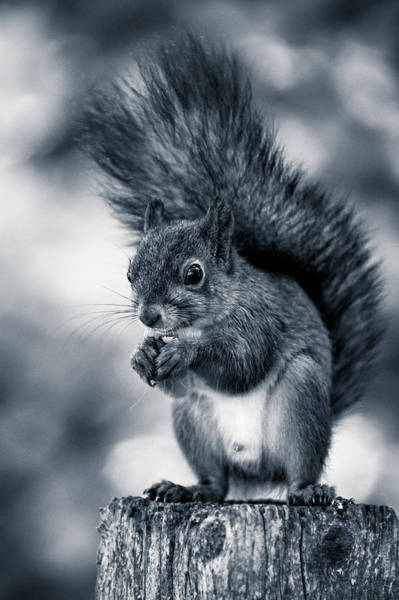 Squirrel In Monochrome Poster