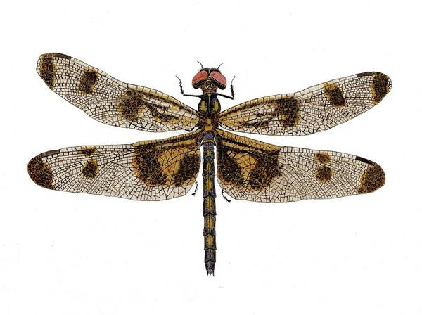 Study Of A Banded Pennant Dragonfly Poster