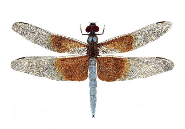 Study Of A Female Widow Skimmer Dragonfly Poster