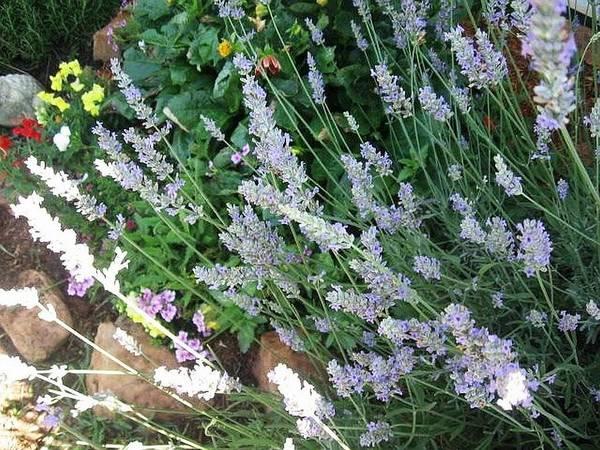 Summer Lavender Poster