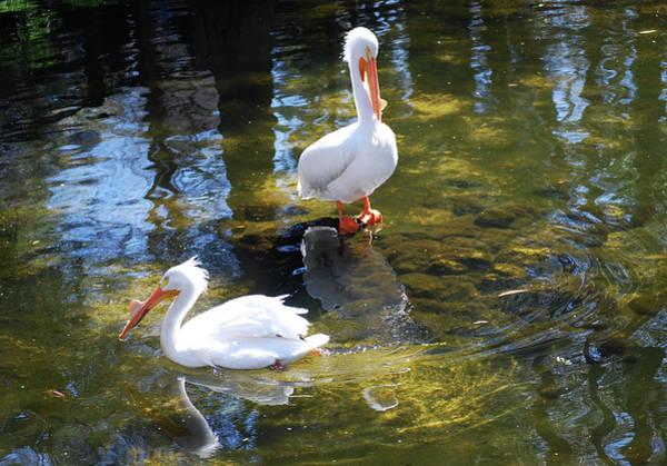 Summer White Pelican Poster