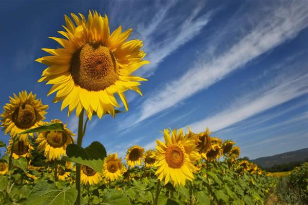 Sunflower Seranade Poster