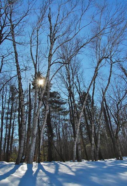 Sunlight Through Birches Poster