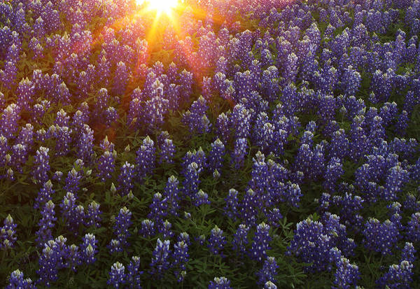 Sunset Over Bluebonnets Poster
