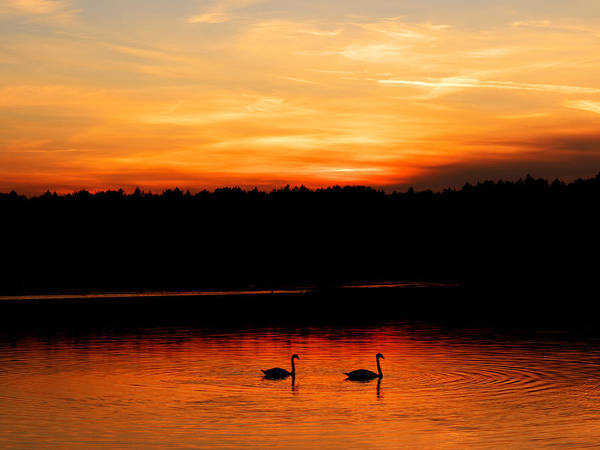 Swans In The Sunset Poster