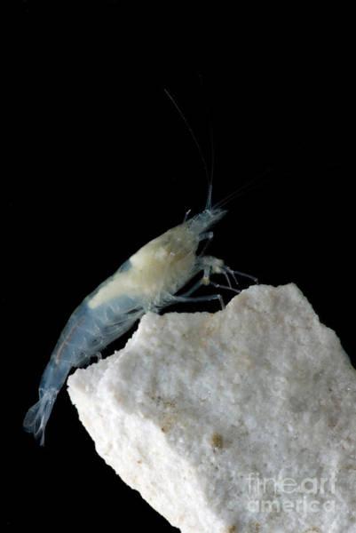 Taiji Cave Shrimp Poster