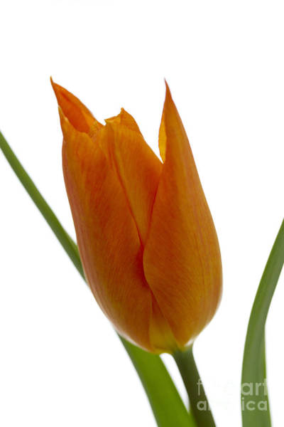 Poster featuring the photograph Tulip -1 by Tad Kanazaki