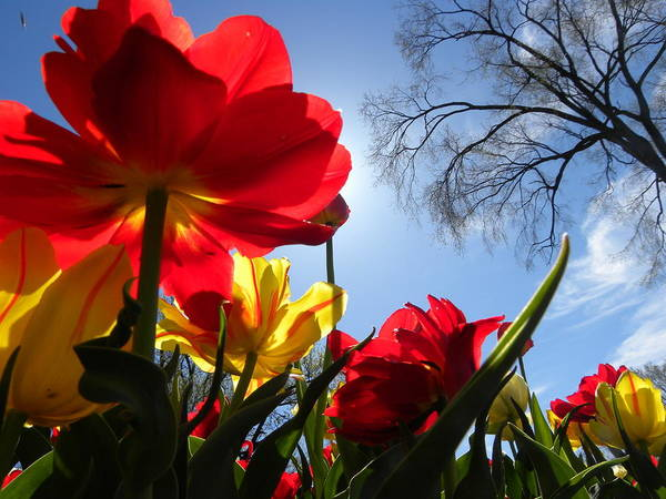 Tulips In Sunshine Poster