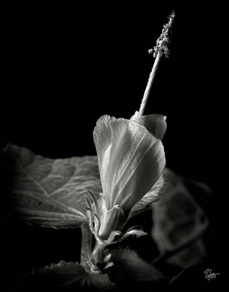 Turk's Cap In Black And White Poster
