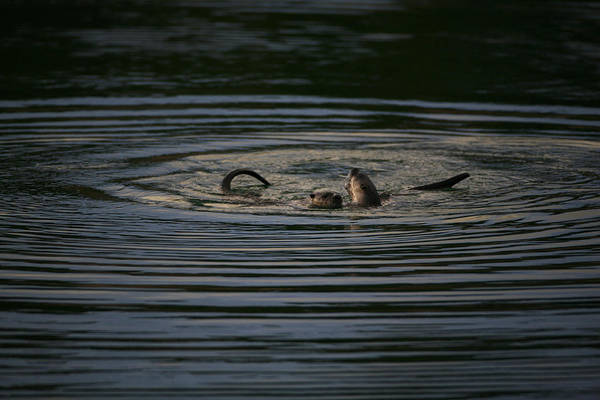 Two River Otters Play In The Water Poster