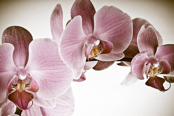 Vintage Orchid Poster