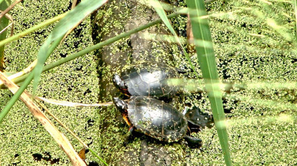 Virginia Swamp Turtles Poster