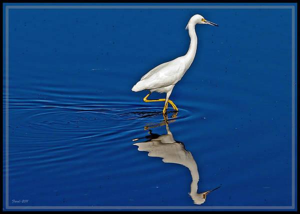 Walking Egret Poster