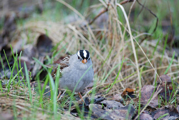 Watchful White Crowned Sparrow Poster