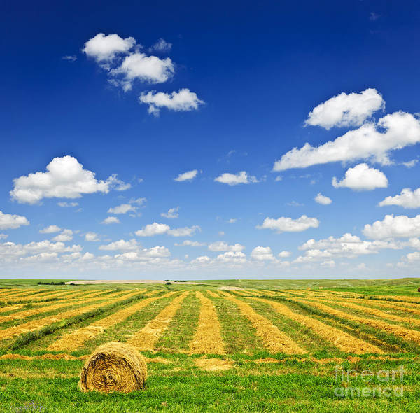 Wheat Farm Field At Harvest Poster