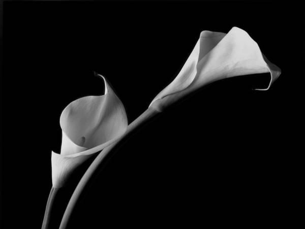 White Calla Lilies Poster