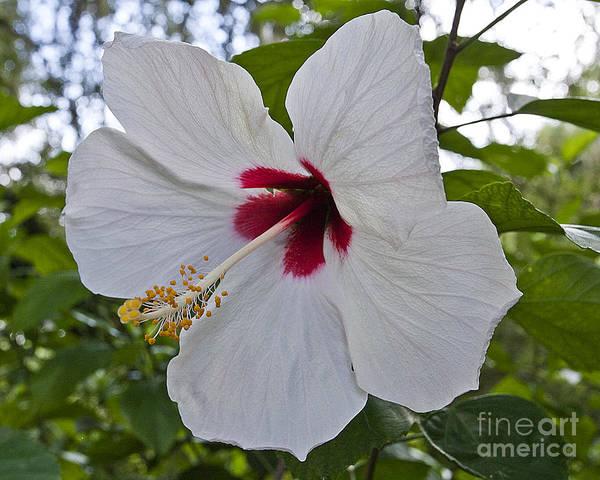 White Hibicus Poster