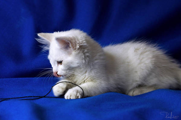 White Kitty On Blue Poster