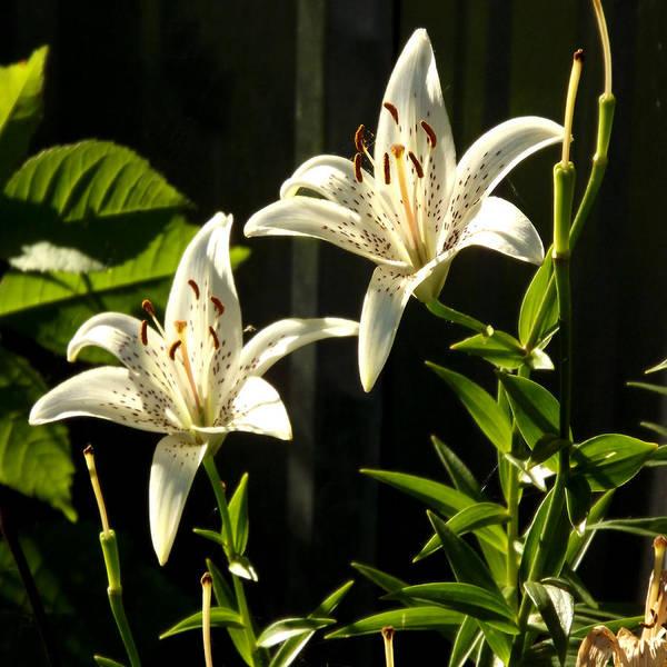 White Lillies Poster