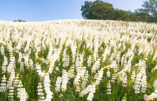 White Lupine Poster